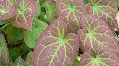 Röd sockenblomma, Epimedium x rubrum