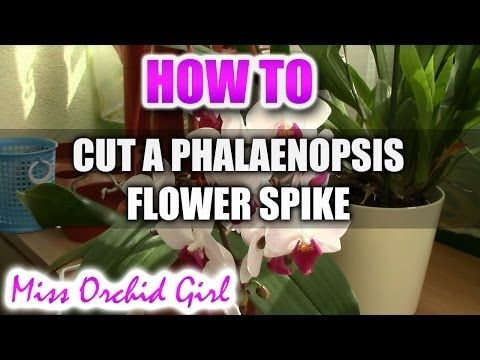 78 Best Ideas About Phalaenopsis Orchid On Pinterest