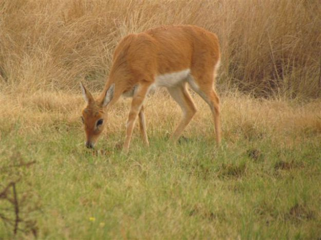 We still see our female oribi every few days thank goodness.  We had never seen…