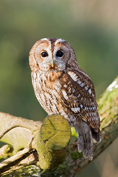 "Credit: Alamy Tawny owl One of the most recognisable calls of any English bird, the tawny's ""twit-twoo"" is in fact a duet between a male and female bird. Often you will only hear a ""twit"" (more like a ""ke-wick"") or a ""twoo"". Tawnys inhabit a range of woodlands including conifer plantations, notably Kielder in Northumberland."
