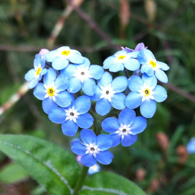 Heart shaped Forget-Me-Not.: Tattoo Ideas, Forget Me Not Heart, Blue Flowers, Heart Shape, Forgetmenot Flowers,  Nudibranch, Shape Forget Me Not, Natural Heart, Forget Me Not Flowers