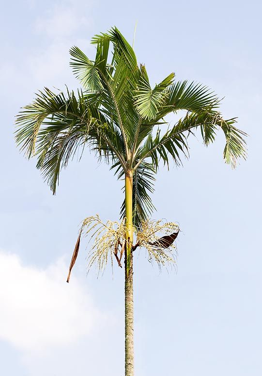 Actinorhytis calapparia palm - some sources call this the Magic Palm... perhaps because it's also a source of betel nut (usually from the Areca catechu palm)