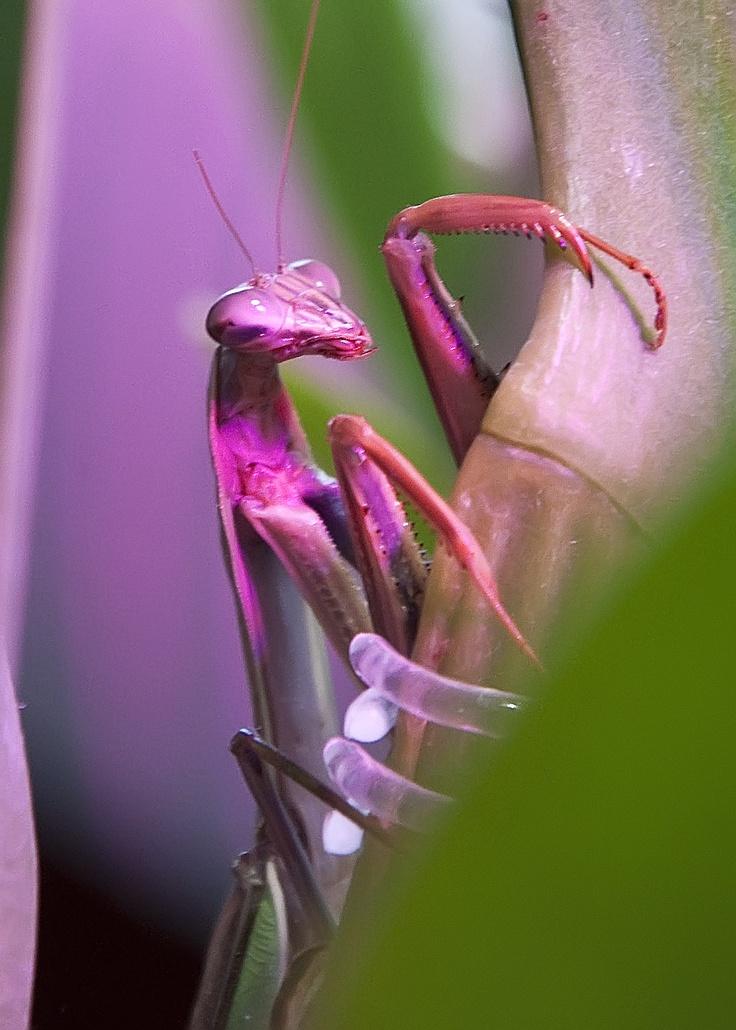 praying mantis Auburn NH Praying mantis Pinterest