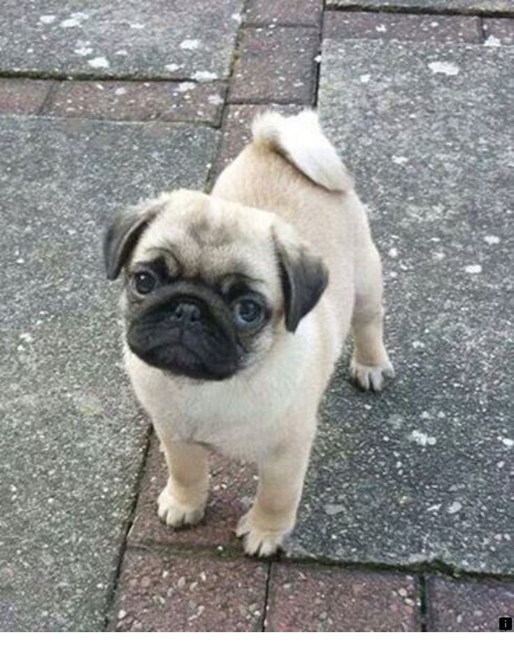 Read More About Mini Pugs For Sale Simply Click Here To Learn