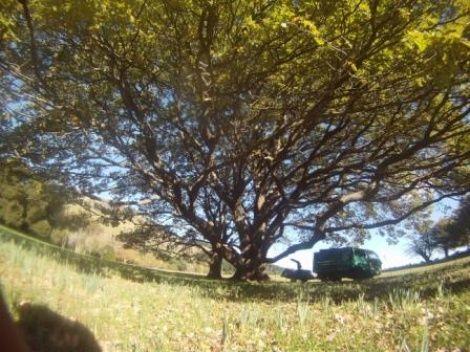 Heritage trees on the peninsula