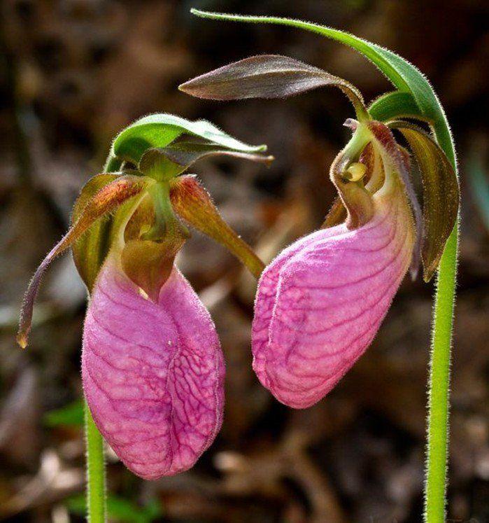 orchidée intéressante en rose, sabot de Venus