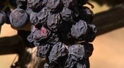 Klimaatverandering beïnvloedt Italiaanse wijn | Il Giornale, Italiekrant over Italiaanse zaken en smaken