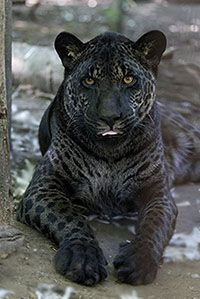 Jazhara, a melanistic Jaglion (jaguar, lion hybrid) and sister of Tsunami - read their fascinating story at the link