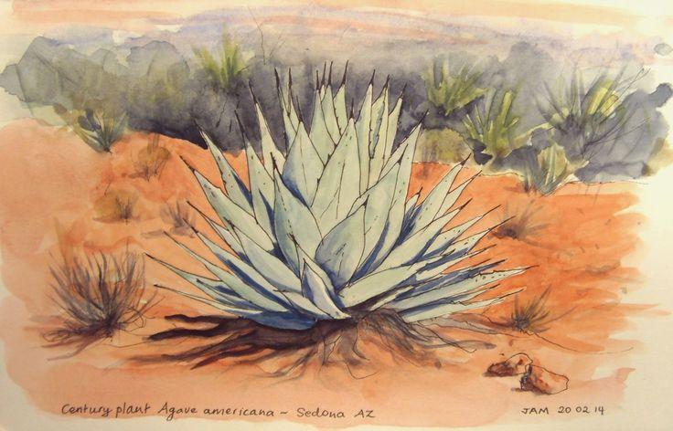 Century plant, Sedona AZ. Line and wash drawing by Judith Alsop Miles