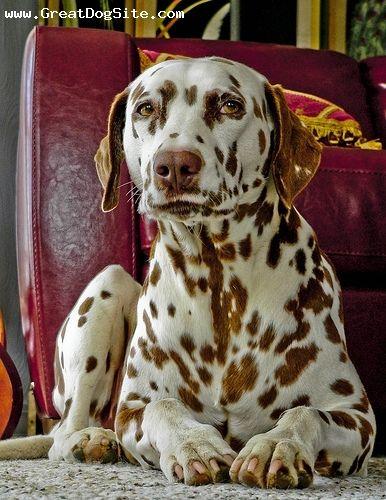 Dalmatian...beautiful brown spotting
