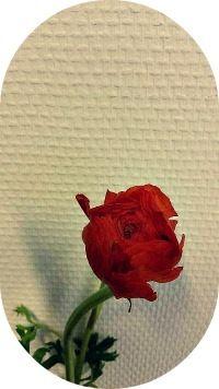 Norsk navn: Ranunkel Botanisk navn: Ranunculus