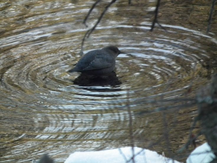 American Dipper bathing near Bragg Creek, Alberta