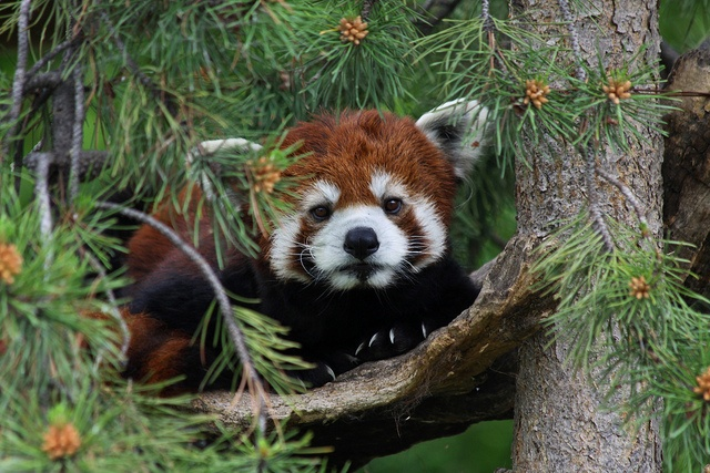 Red panda diet consists of mainly bamboo, grasses, fruits, and nuts. Red pandas are omnivorous and will also eat insects, eggs, birds, and small mammals.