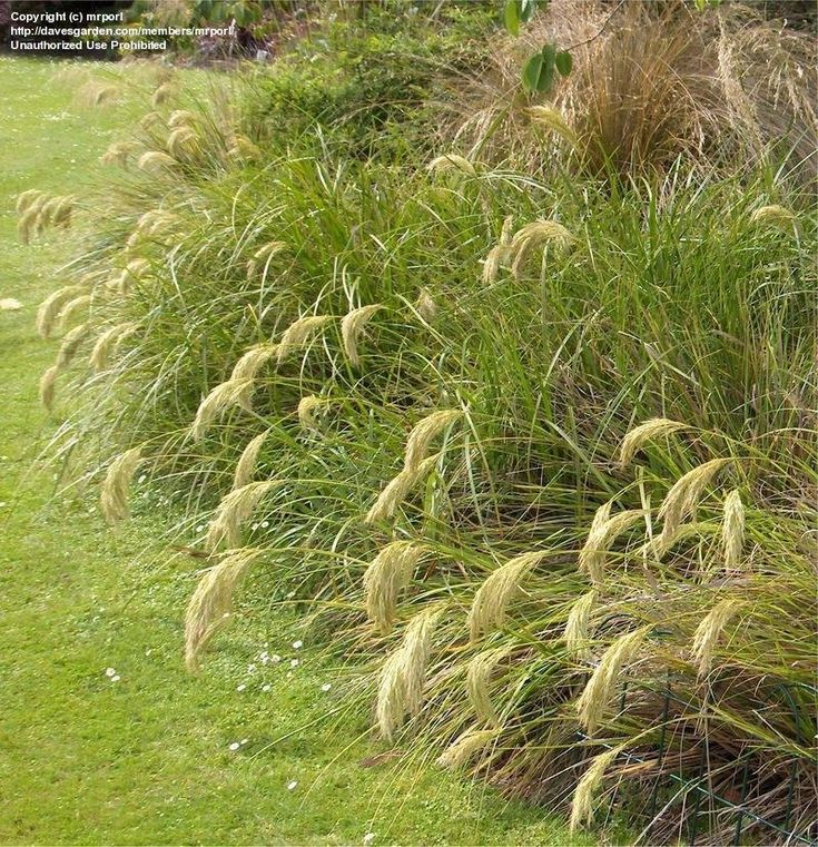 New Zealand Snow Tussock Grass (Chionochloa flavicans)