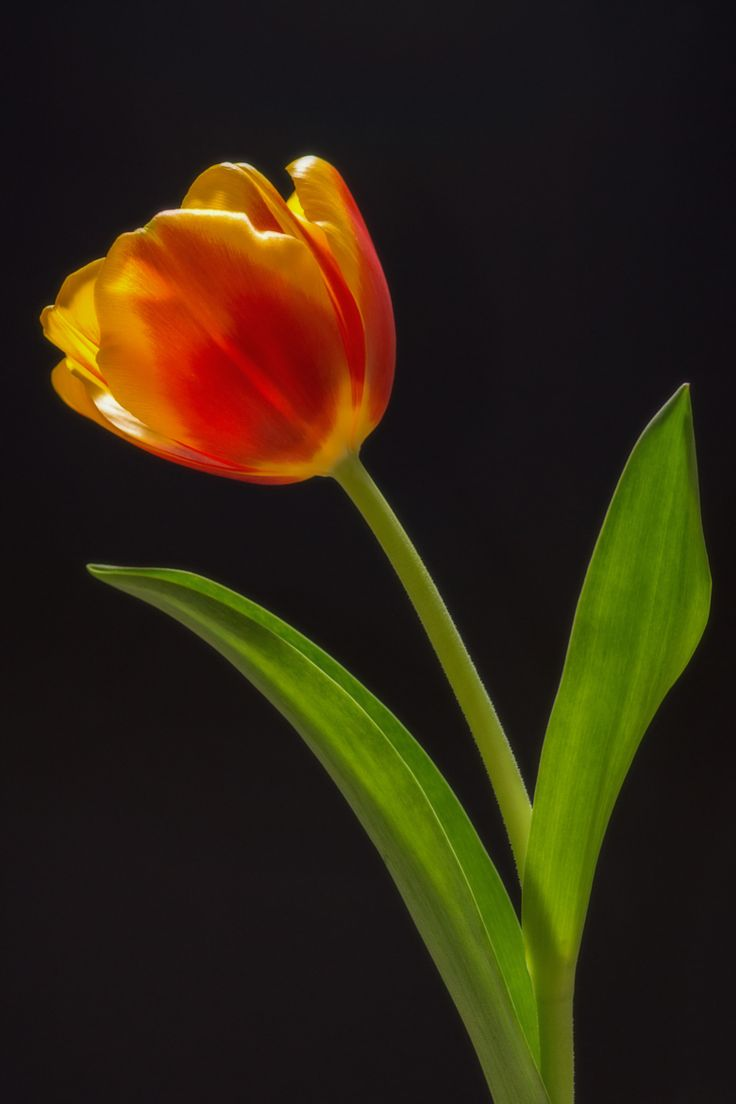 wowtastic-nature:Tulip by Антон СинельниковNo cut, No edit. Posted as it was found on 500px.com