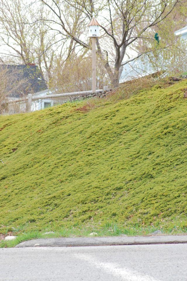 37 Best Images About Juniperus On Pinterest Juniper