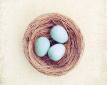 """Huevo de jerarquía de Fotografía, petirrojos huevos en un nido azul marrón amarillento pálido aún primavera photography Vida rural 10x10, 8x8 Foto: """"El nido de Robin"""""""