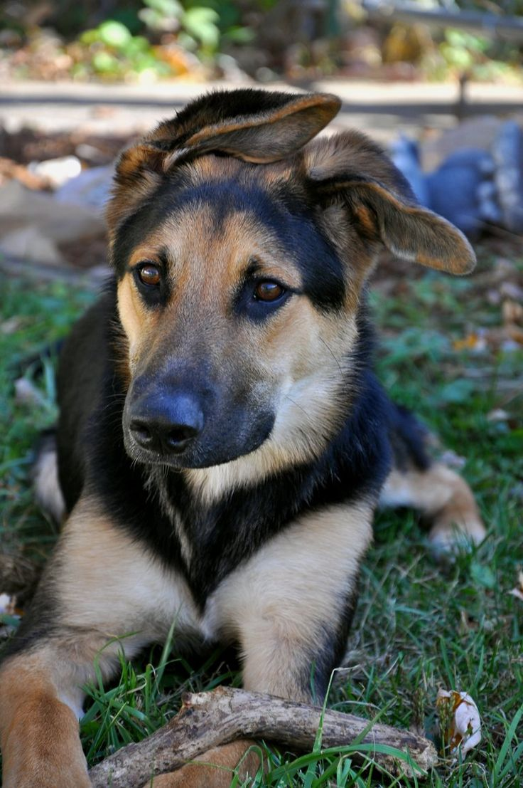He is 50% German Shepherd, and then the other have is mixed between a Border Collie and a Labrador.