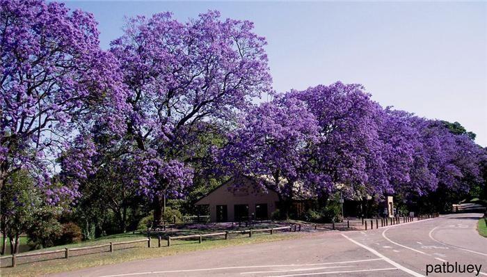 В Аргентине зарегестрировано 4 вида деревьев этого рода, в основном произрастающих на Севере, Северо-Западе и Северо-Востоке страны, частью - в Центрально-Восточном Регионе.аибольший ареал у жакаранды мимозолистной, которая в естественных условиях обитает на равнинной и в горной местности, часто по берегам рек, на высоте от 0 до 1500 м над уровнем моря в 5 аргентинских провинциях - Буэнос-Айрес, Энтре-Риос, Тукуман, Хухуй и Сальта, а также на сопредельной территории Боливии