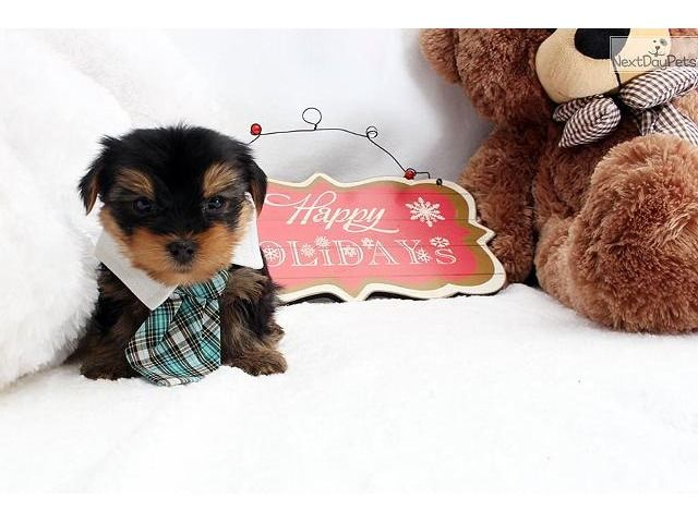 listing Outstanding T-cup Yorkie puppies availab... is published on Free Classifieds USA online Ads - http://free-classifieds-usa.com/for-sale/animals/outstanding-t-cup-yorkie-puppies-available-ready-13-weeks_i25197