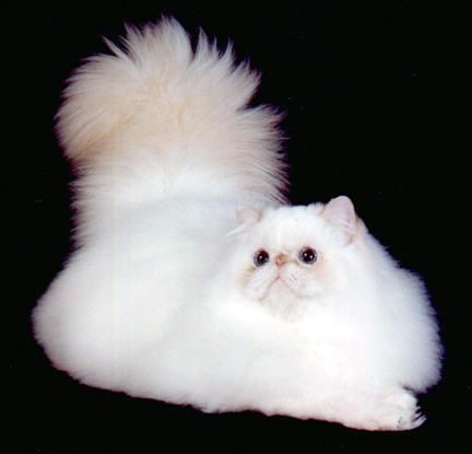 Flame Point Male- GC  Playwickey's  Philly  Fanatic, DM- I had is son Pericles.  Both were great cats!