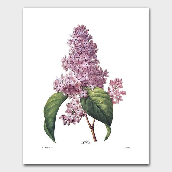 Lilac Art, Botanical Print (Purple Wall Art, Flower Wall Decor) -- Pierre Redoute