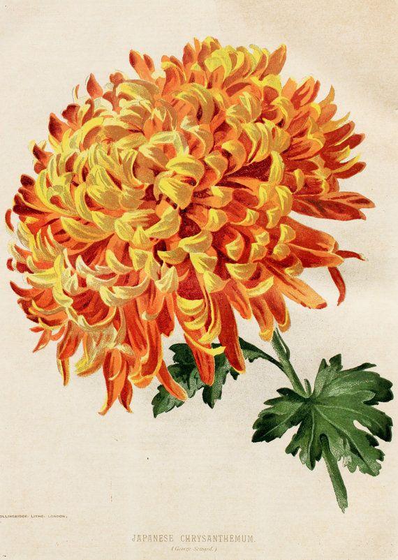 Japanese Chrysanthemum in YellowOrange 1897 by PaperPopinjay, $10.00