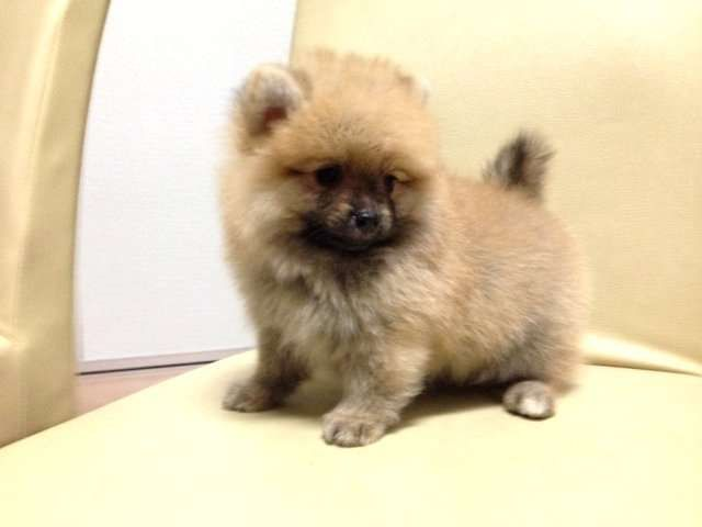 Pleasant 17 Best Images About Pomeranian Dogs On Pinterest Toy Pomeranian Hairstyles For Men Maxibearus