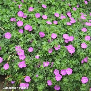 Geranium sanguineum, Geranium sanguineum - Spring Perennials from American Meadows