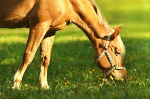 Horses should get most of their nutrients from their feed but supplements and nutritional tonics are often required to ensure that horses stay in peak condition. Read about some of the nutritional requirements of your horse and how they can be fulfilled: http://qoo.ly/his9s