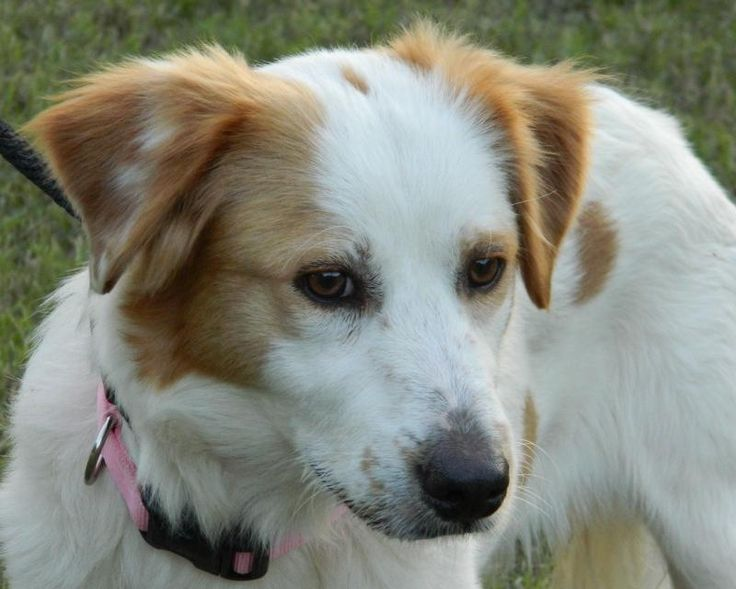 Libby is an adoptable Brittany Spaniel searching for a forever family near Fort Worth, TX. Use Petfinder to find adoptable pets in your area.