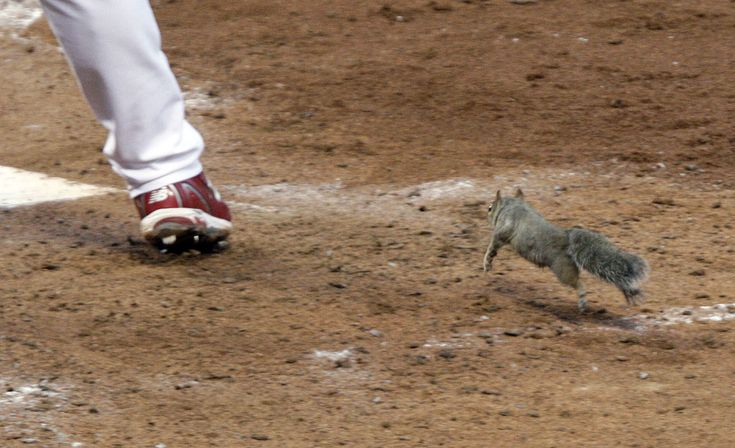 A squirrel runs toward home plate, past the leg of St. Louis Cardinals's Skip Schumaker, while Schumaker bats during the fifth inning of game four of the National League division series against the Philadelphia Phillies on October 5, 2011, in St. Louis, Missouri.