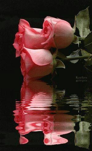 Beautiful Rose Reflection!