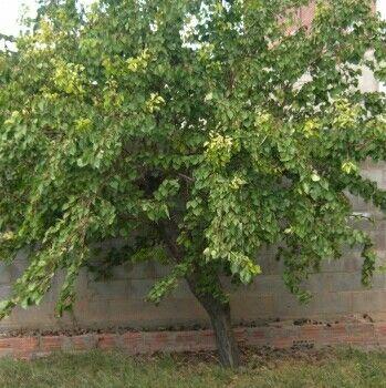 25 Best Ideas About Prunus On Pinterest Blossom Trees