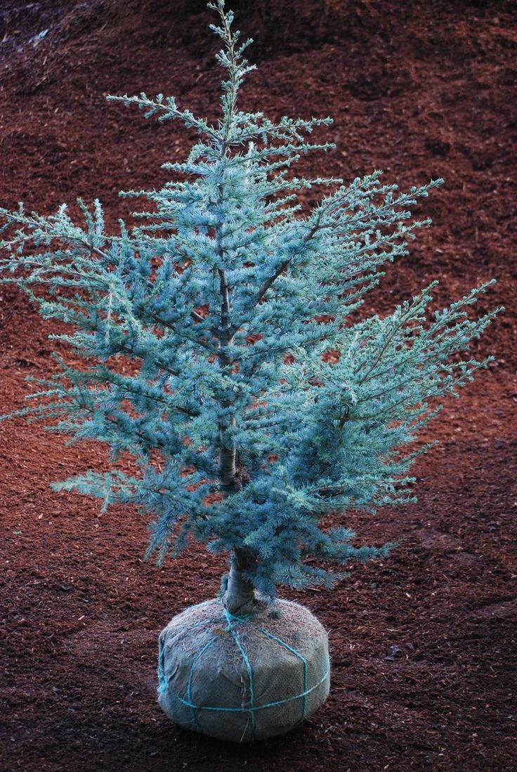 narrow growth shrubs | Cedrus atlantica 'Glauca' Horstmann - The Site Gardener