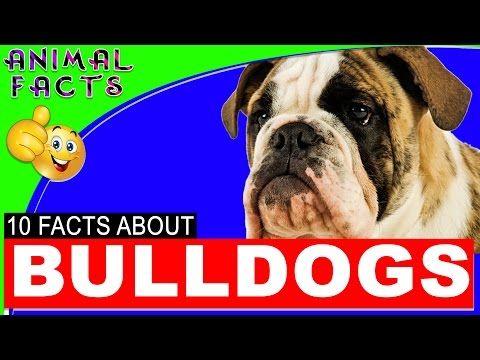Old English Bulldogs Dogs 101 Facts Information #bulldog #dog – Animal Facts