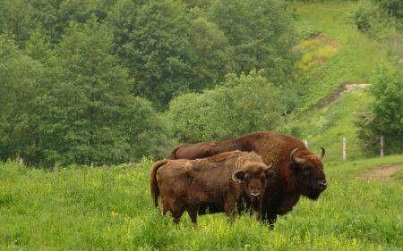 Rezervatia de zimbri Neamt Romania
