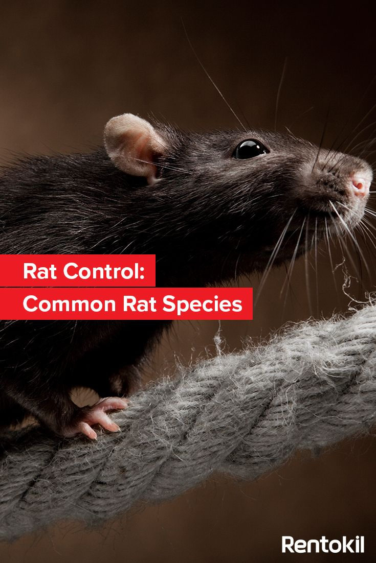 There are two main types of rats that cause concern in the U.S. The Brown Rat (or common rat) and the Black Rat. Find out more information about these two species of rat on our rat species page. #Rodents #Rats