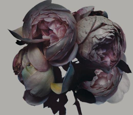 ©nick knight: Rose, Flora, Purple Flowers, Nick Knights, Colors Palettes, Dark Purple, Colour Palettes, Dark Flowers, Peonies