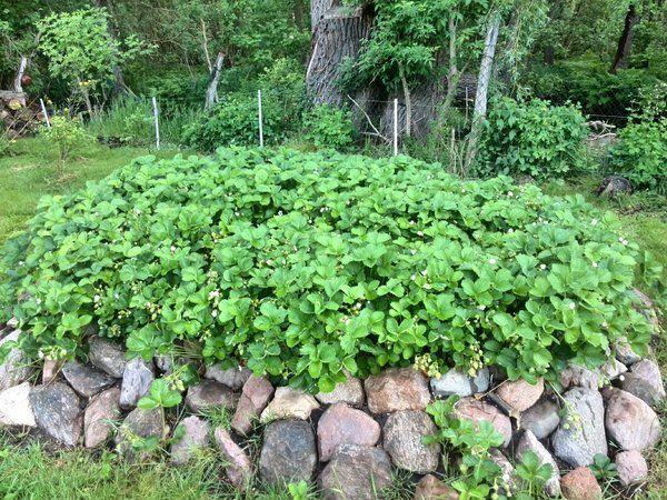 Erdbeerhochbeet (für unseren Dreckhaufen hinten im Garten?)
