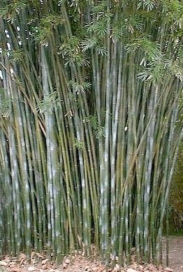 Clumping Bamboo, Bambusa, Non-Invasive Bamboo, Bamboo Photos, Bamboo Descriptions, Bamboo For You