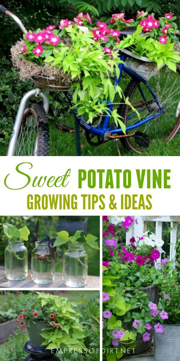 When It comes to quick, easy to grow, goof-proof annuals, sweet potato vine (Ipomoea butatas) is one of the best. I'll show you some creative uses for these reliable, gorgeous vines. #gardening #creativegardening #sweetpotatovine #gardenart #empressofdirt