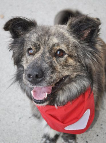 10/24/15-Bear Corgi & Australian Shepherd • Senior • Male • Medium HART (Homeless Animals Rescue Team) Fairfax Station, VA