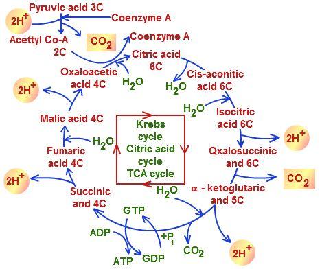 Citric Acid Cycle Diagram