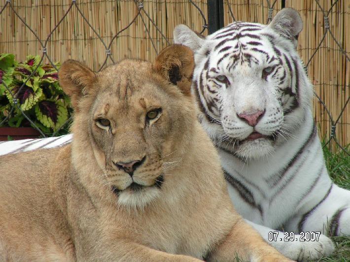 Výsledok vyhľadávania obrázkov pre dopyt Lion vs Tiger , gif