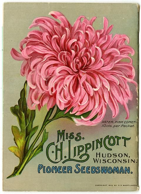 "A large Pink Comet aster fills the back cover of Carrie Lippincott's 1911 catalog.  Carrie Lippincott, the self-proclaimed ""pioneer seedswoman"" and ""first woman in the flower seed industry"" established her mail-order flower seed business in Minneapolis in 1891."
