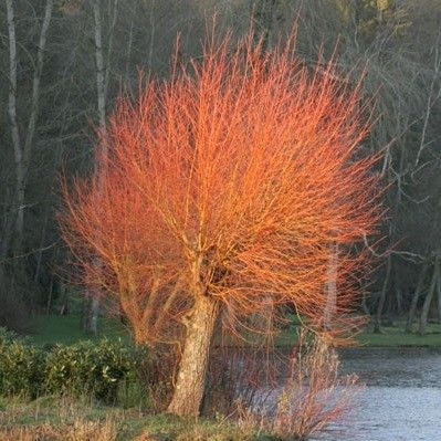 Salix alba 'Chermesina', a mid sized tree, would sit behind,  and taller than, the blue cedar on left of back hill by shed.  Green in Summer and then This!-->