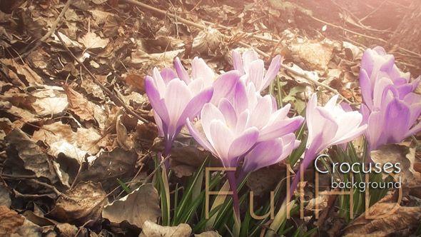 Crocuses, Crocus Flowers in Spring Garden Nature Background. Shallow Depth of Field, nature video background