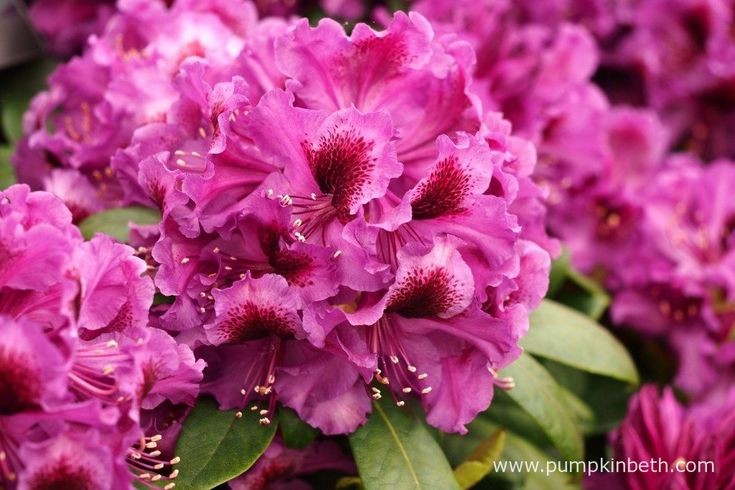Rhododendron 'Orakel' is a new Rhododendron, it was launched by Millais…