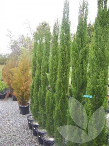 Cupressus Sempervirens Glauca Library Speciality